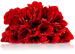 20-0027-amaryllis-rot-5-liegend-pb2
